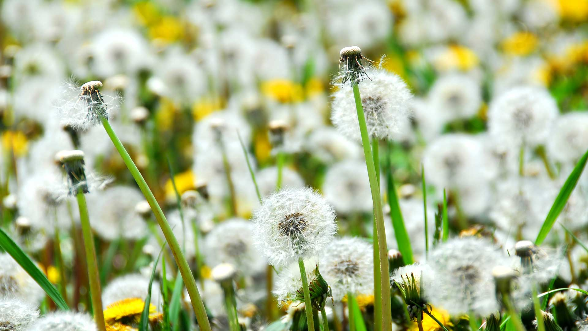 Close up photo of dandelions growing on a Macomb, MI property.